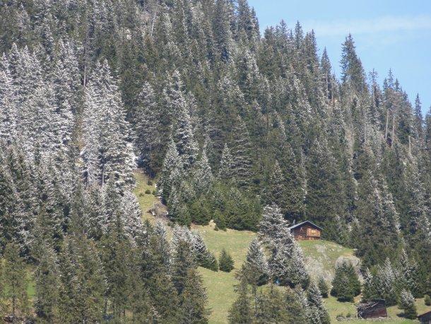 Schneeige Bäume am Gegenhang